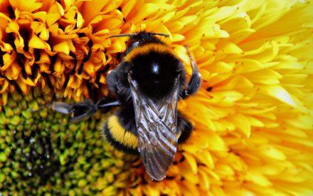Patrones a gran escala de distribución de parásitos en abejorros mexicanos