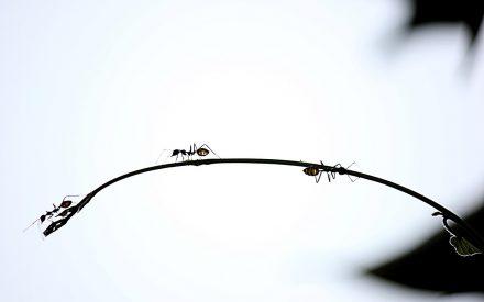 Evaluación de la reforestación del bosque de encinos en Africam Safari utilizando hormigas como bioindicadores