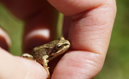 Conservación de anfibios amenazados en el Estado de Puebla