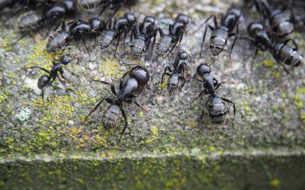 """Caracterización de la comunidad de hormigas del Parque Estatal """"Flor del Bosque"""" en función de sus hábitos alimenticios"""