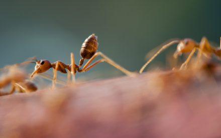 """Uso de hormigas como bioindicadores en el Parque Estatal General Lázaro Cárdenas del Río """"Flor del Bosque"""""""