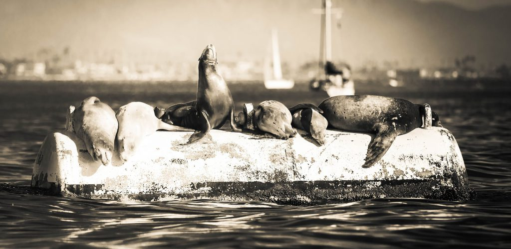 Lobos marinos y focas, competidores o benefactores para la pesca