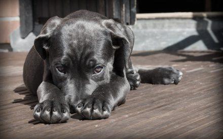 Nanopartículas de plata contra el Moquillo Canino